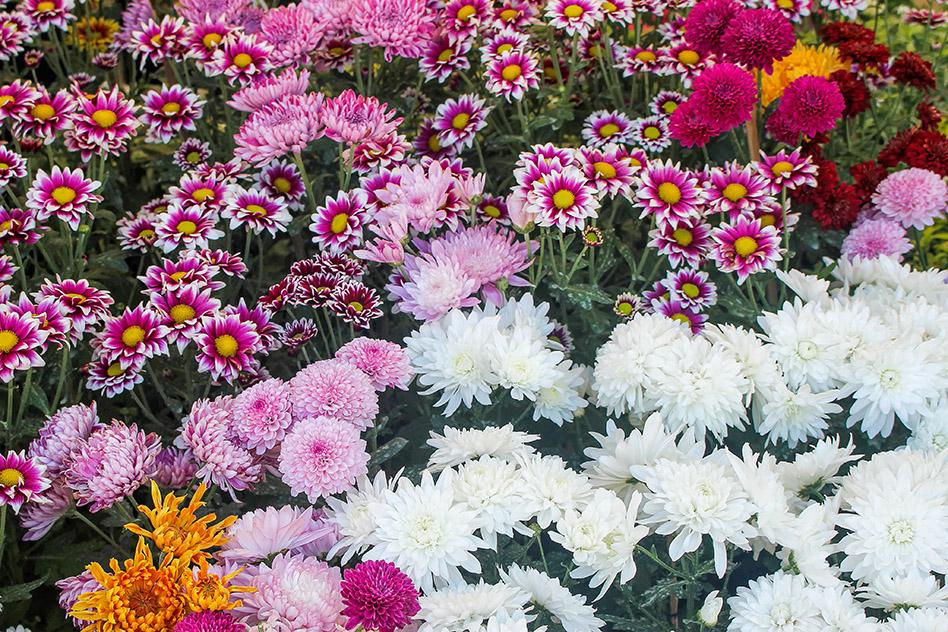 Kmetija ZAKRAŠNIK - Balkonsko cvetje