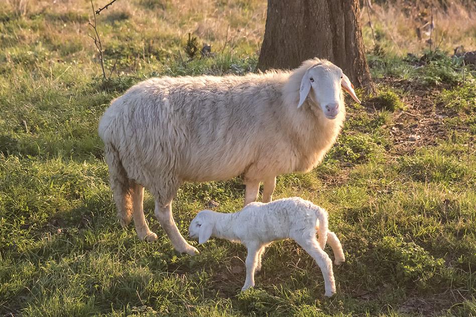 Kmetija-ZAKRAŠNIK_ovce