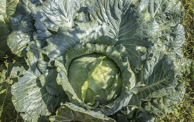 Kmetija-ZAKRAŠNIK_zelje